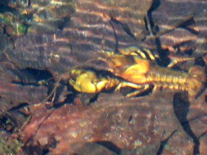 one-clawed-crayfish